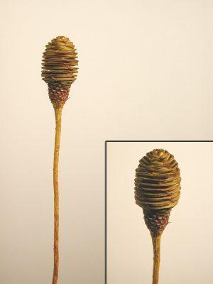 Platyspernum